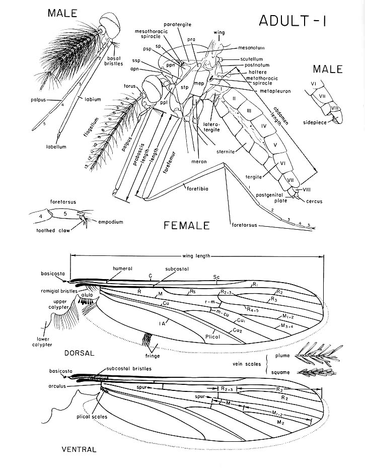 adult mosquito morphology