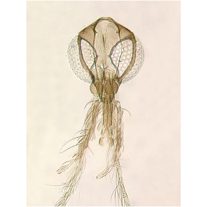 Nyssomyia flaviscutellata male head