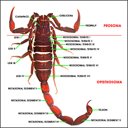 scorpion morphology